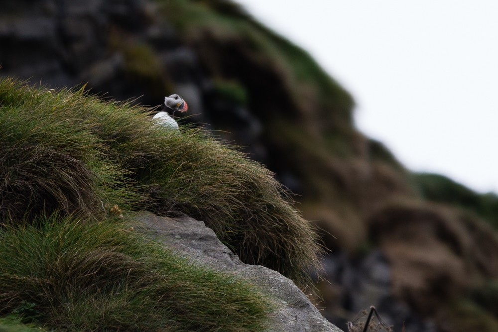 Must see in South Iceland - Adorable Puffins